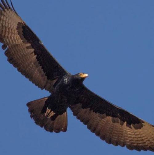 Verreaux's-Eagles1