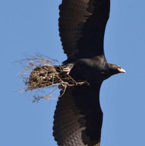 Verreaux's-Eagles3